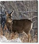 Fawn Eating Canvas Print