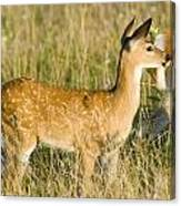 Fawn In Big Meadows Canvas Print