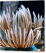 Feather Duster Worms 2 Canvas Print