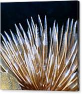 Feather Duster Worms 4 Canvas Print