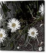 Feathered Daisy  Canvas Print