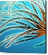 Featherstar Canvas Print