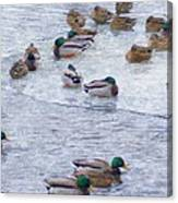 February  And Cold Ducks Canvas Print