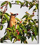 Feeding Cedar Waxwing Canvas Print