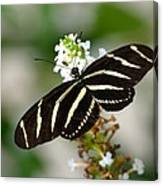 Feeding Zebra Butterfly Canvas Print