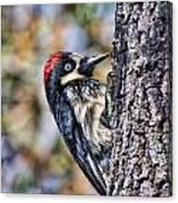 Female Acorn Woodpecker Portrait Canvas Print