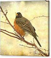 Female American Robin Canvas Print