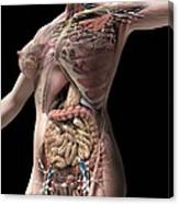 Female Anatomy, Artwork Canvas Print