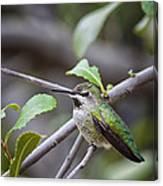 Female Anna's Hummingbird Canvas Print