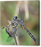 Female Blue Dasher In July  Canvas Print