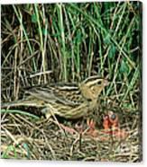 Female Bobolink At Nest Canvas Print