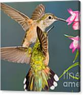 Female Broad-tailed Hummingbird Canvas Print