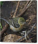 Female Cape May Warbler Canvas Print