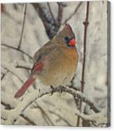 Female Cardinal In The Snow II Canvas Print