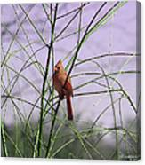 Female Cardinal In Willow Canvas Print