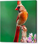 Female Cardinal Posing Pretty  Canvas Print