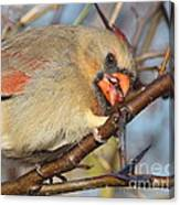Thorns And Berries - Cardinal Canvas Print