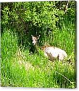 Female Deer Resting Canvas Print