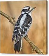 Female Downey Woodpecker Canvas Print
