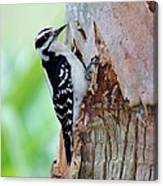 Female Downy Woodpecker Canvas Print