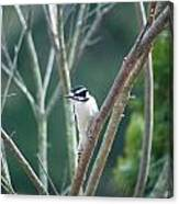 Female Downy Woodpecker Canvas Print
