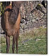 Female Elk Canvas Print