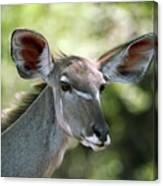 Female Greater Kudu Canvas Print