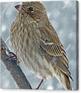 Female House Finch In Snow 1 Canvas Print