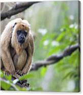 Female Howler Monkey Canvas Print