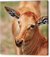 Female Impala Canvas Print