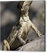 Female Jesus Lizard Canvas Print