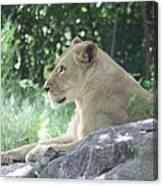 Female Lion On Guard Canvas Print