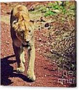 Female Lion Walking. Ngorongoro In Tanzania Canvas Print