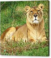 Female Lioness Lying On The Grass In The Afternoon Sun Canvas Print