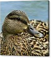 Female Mallard Duck Canvas Print