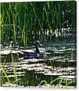 Female Mallard Duck Swimming Canvas Print