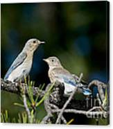 Female Mountain Bluebird With Fledgling Canvas Print