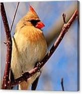 Female Northern Cardinal Canvas Print