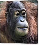 Female Orangutan Borneo Canvas Print