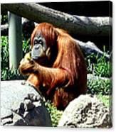 Female Orangutan-san Diego Canvas Print