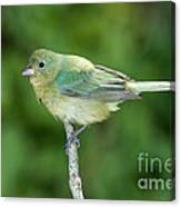 Female Painted Bunting Passerina Ciris Canvas Print
