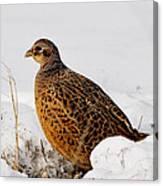 Female Pheasant Canvas Print