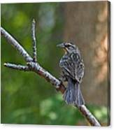 Female Red Winged Blackbird Canvas Print