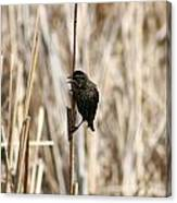 Female Red Winged Blackbird On Marsh Reeds Canvas Print