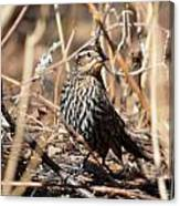 Female Red-winged Blackbird Canvas Print