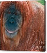 Female Sumatran Orangutan Canvas Print