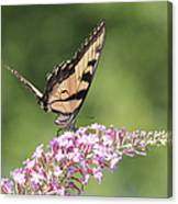 Female Tiger Butterly-1-featured In Macro-comfortable Art And Newbies Groups Canvas Print