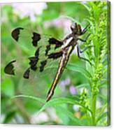 Female Twelve-spotted Skimmer Canvas Print