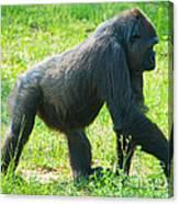 Female Western Lowland Gorilla Canvas Print
