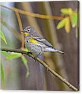 Female Yellow-rumped Warbler Canvas Print